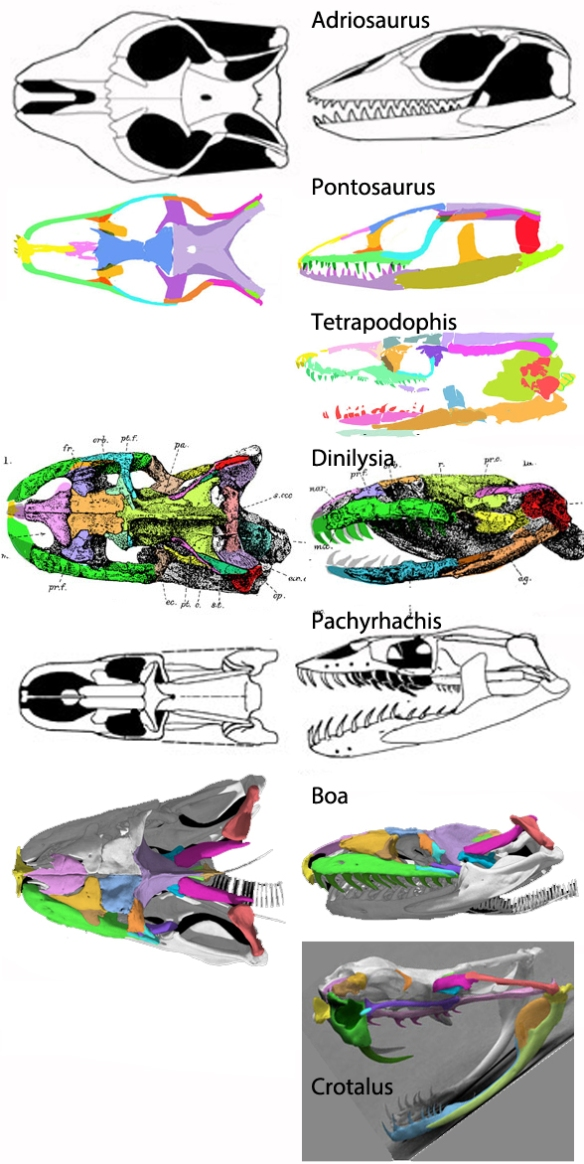Figure 5. Snake skull evolution from Adriasaurus to Crotalus.