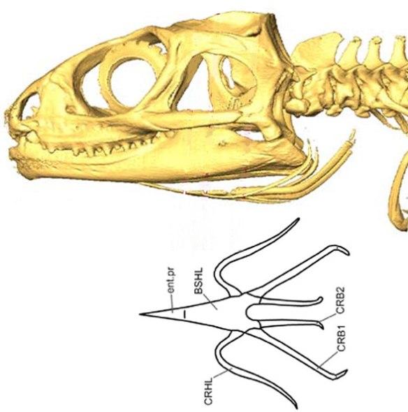 Figure 4. Sphenodon hyoids in two views.