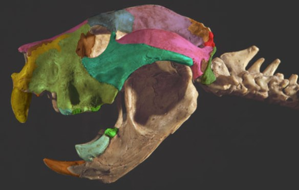 Figure 4. Thylacoleo skull. Many times larger than Petaurus, with fewer larger teeth, this is a giant sugar glider.