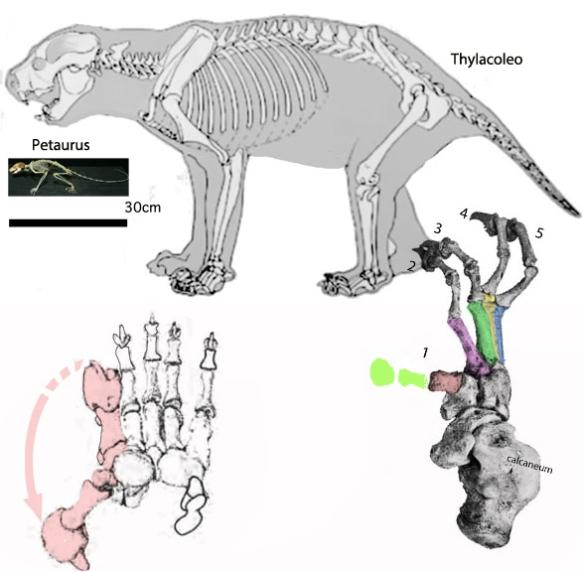 Figure 2. Thylacoleo skeleton compared to Petaurus skeleton to scale.