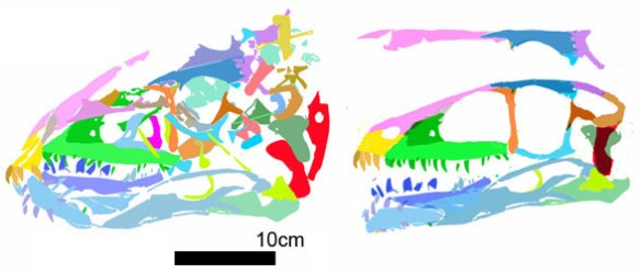 Figure 2. Tianyuraptor skull in situ and reconstructed.