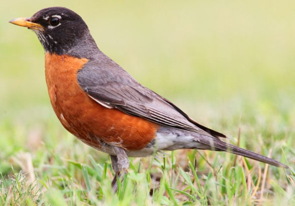 Figure 1. Turdus migratorius, the American robin, nests between the crow (Corvus) and the blue jay (Cyanocritta).