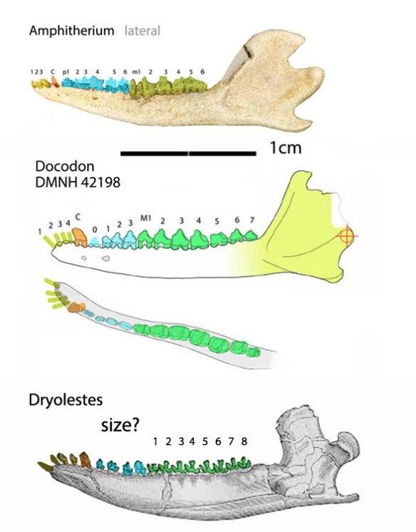 Figure 1. Having 7 or 8 molars is very unusual for mammals. So finding a close match for Dryolestes is easy, once you have Docodon and Amphitherium. Dryolestes is the most derived of these three.