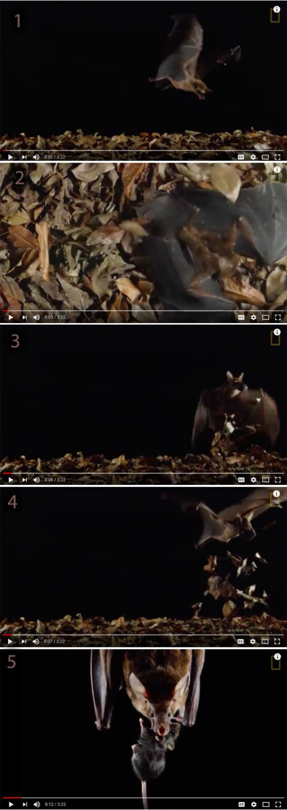 Figure 2. Scenes from the video showing the stages in the bat attack on the mouse in the leaf litter.