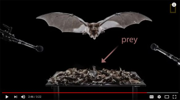 Figure 1. The false vampire bat hovering before attacking a mouse in dry fallen leaves, listening to locate is prey.
