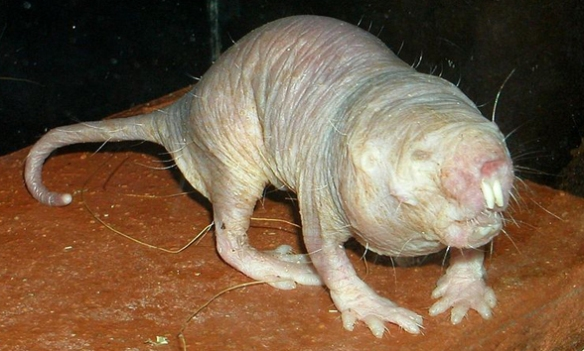 Figure 1. The naked mole rat, Heterocephalus is closer to hedgehogs than to rats.