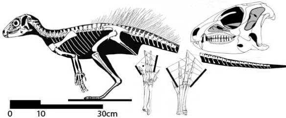 Figure 1. Heterodontosaurus with feather quills arising from the lower back, sacrum and proximal tail.Figure 1. Heterodontosaurus with feather quills arising from the lower back, sacrum and proximal tail.