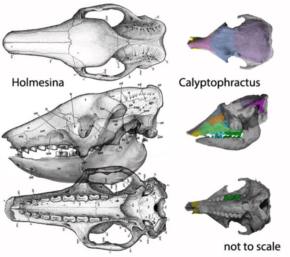 Figure 3. Skulls of Holmesina and Calyptophractus compared.