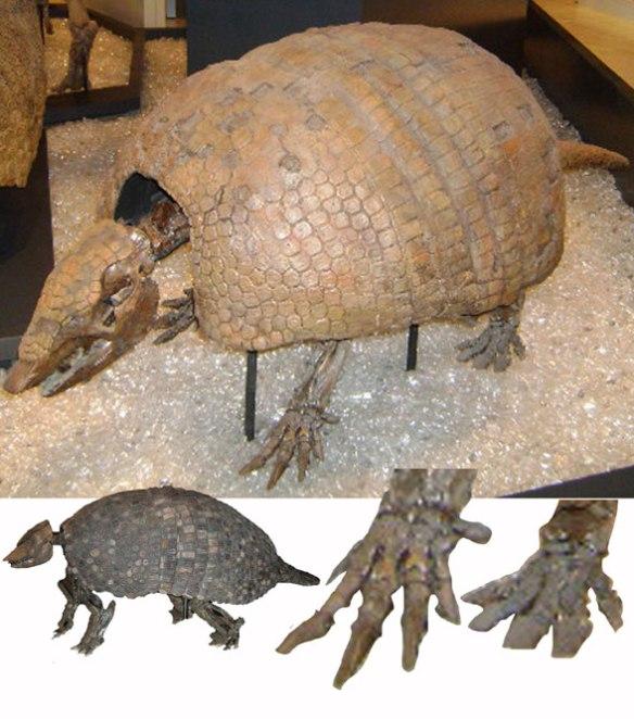 Figure 2. Holmesina, the glyptodont ancestor to aardvarks, anteaters and armadillos.