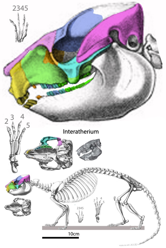 Figure 2. Interatherium is the surprising ancestor of kangaroos, with a special affinity to the short-face kangaroo.