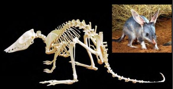 Figure 1. Macrotis skeleton and invivo.