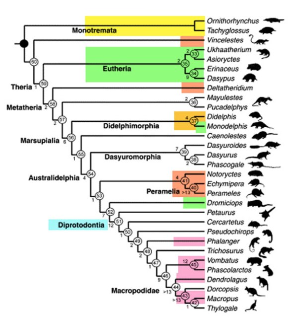Figure 1. A cladogram of metatherian mammals based on skeletal and soft traits by Horovitz and Sánchez-Villagra 2003.
