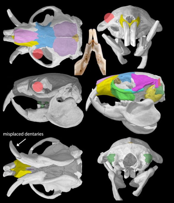 Figure 2. Naked mole rat (Heterocephalus) skull in several view. The mandibles are disarticulated here, but the glenoid appears to be reduced to absent, providing great mobility to the jaws.
