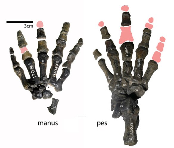 Figure 4. Manus and pes of Periptychus with some bones restored.