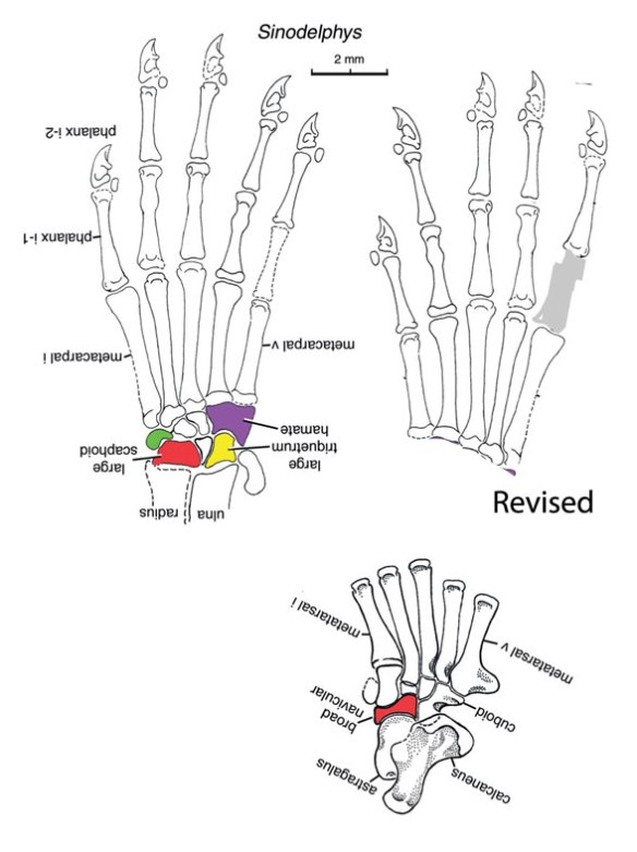 Figure 4. Manus of Sinodelphys as originally reconstructed. Flipping the hand, as in the revised image, more closely matches sister taxa with digits 3 and 4 the longest.