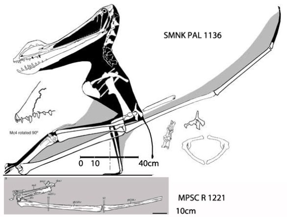 Figure 1. The as yet undescribed SMNS PAL 1136 specimen is much larger than comparable bones in the new specimen, MPSC R 1221.
