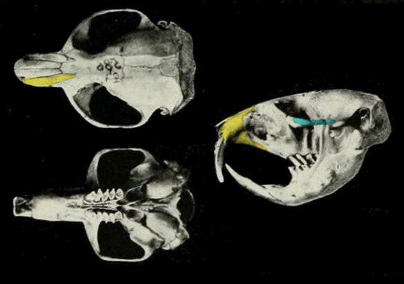 Figure 4. Skull of Thomomys, the extant pocket gopher.