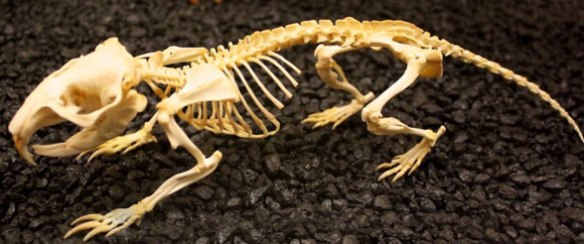 Figure 5. Skeleton of Thomomys, the pocket gopher.