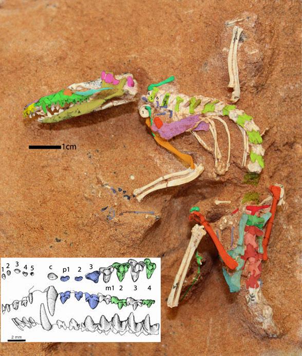 Figure 3. Ukhaatherium in situ.