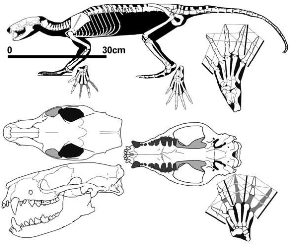 Figure 7. Mink-like Vulpavus (Eocene) is the sister to mink-like Caluromys in the LRT. The larger Vulpavus has one fewer molar, a carnassial lower molar, a narrower zygoma, but otherwise similar traits.