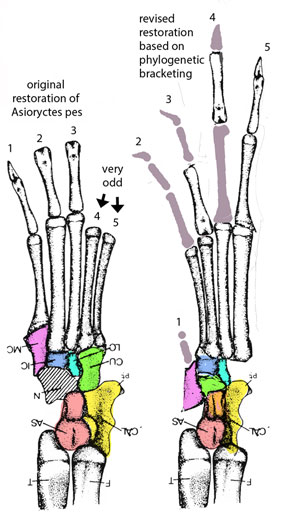 Figure 2. Left: original restoration of Asioryctes pes. Colors added. Right: New restoration based on phylogenetic proximity to Perameles and other marsupial taxa with vestigial digit 1 and gracile digits 2 and 3 (grooming claws).