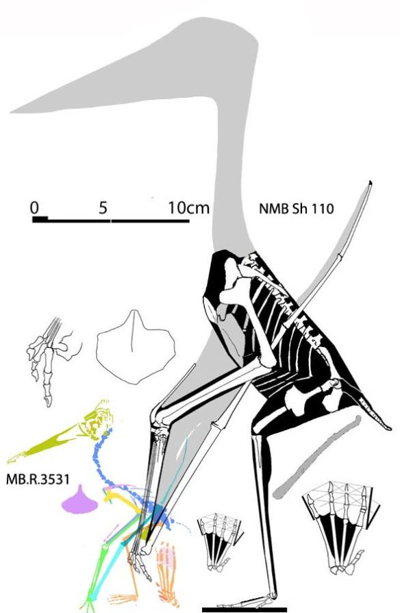 Figure 1. Aurorazhdarcho primordial and the smaller Aurorazhdarcho micronyx to scale.