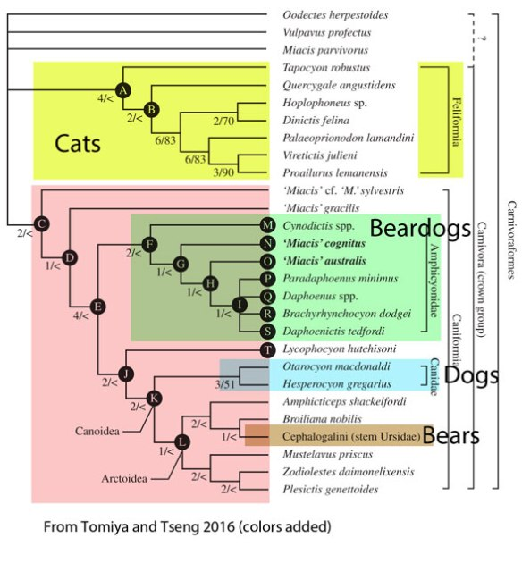 Figure 7. Tomiya and Tseng 2016 suffers from taxon exclusion. None of the taxa discussed in the text is listed here, and vice versa, other than Miacis,
