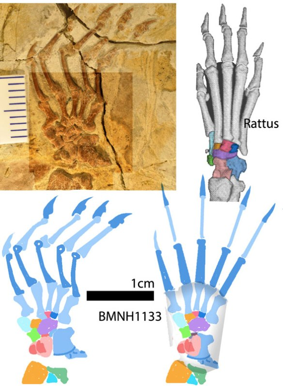 Figure 7. Another pes from Meng et al. 2017, this time reconstructed and compared to Rattus the rat. All the bones are there in just about the same shape and interrelation.