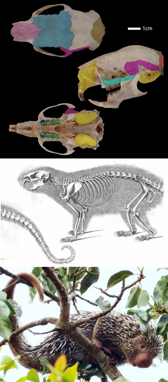 Figure 4. Coendou, the extant prehensile-tailed porcupine, nests with the Jurassic Maiopatagium in the LRT. No other taxon nests closer among the 1268 tested.