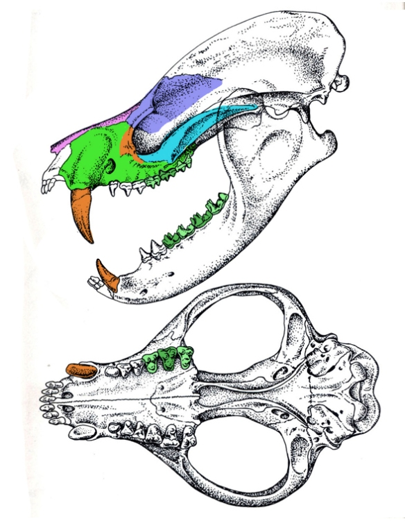 Figure 2. Deltatherium nests with Arctocyon as a basal carnivorous marsupial.