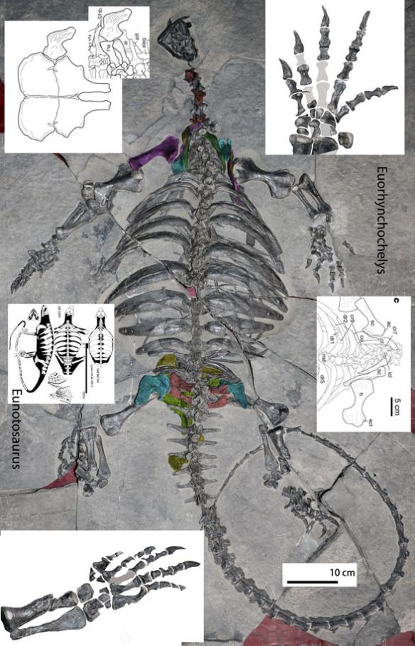Figure 2. Eorhynchochelys in situ alongside manus, pes, pectoral and pelvic girdle, plus Eunotosaurus to scale. By convergence Eorhynchochelys resembles Cotylorhychus.