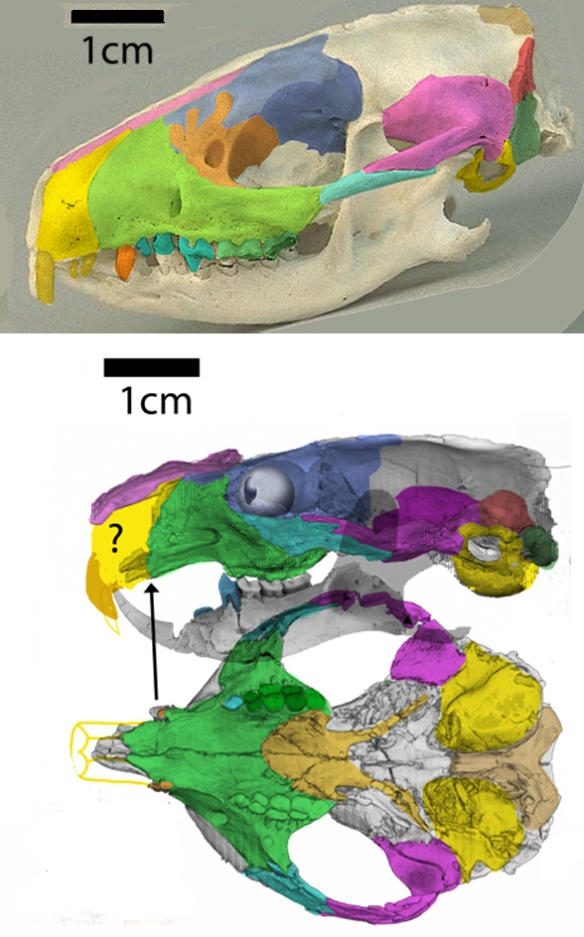 Figure 3. The hedgehog, Erinanceus, compared to Ignacius from the Paleocene.