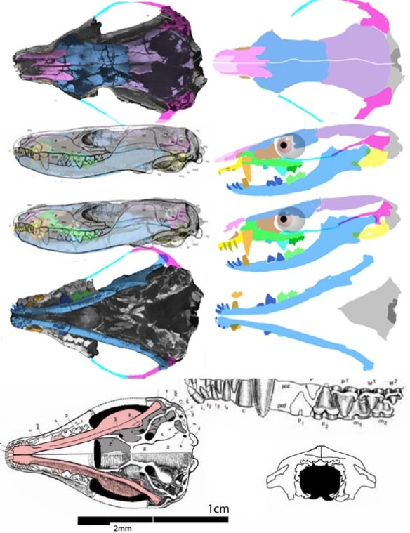 Figure 1. Hadrocodium skull in DGS tracing and reconstruction, plus the original drawing by Luo et al. 2001.