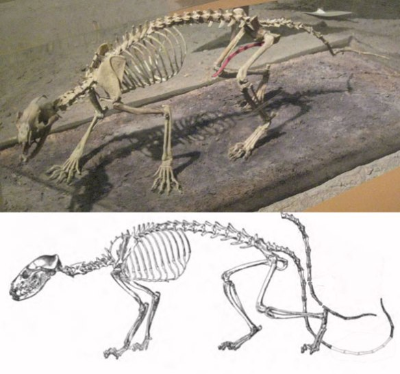 Figure 1. Hesperocyon skeletons. Note the upraised claws.