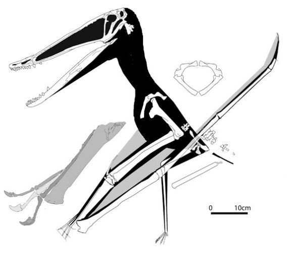 Figure 4. Istiodactylus sinensis is an istiodactylid from China sharing few traits with the new Erlianhaote specimen. Note the warped deltopectoral crest not warped in the new specimen.