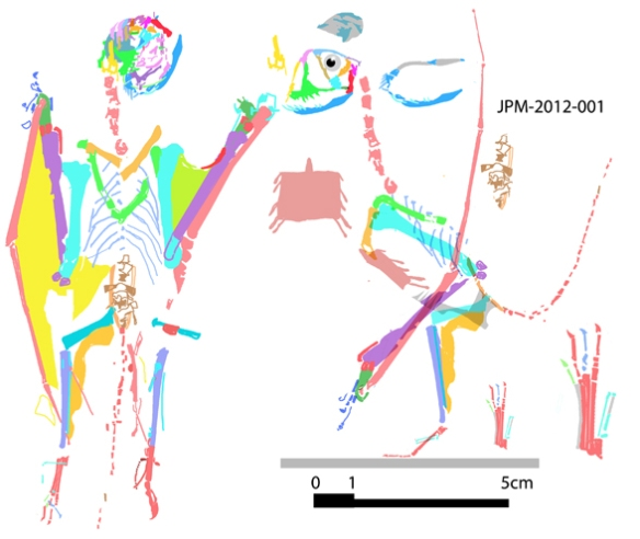 Figure 2. Reconstruction of JPM-2012-001, this anurognathid has a rather tall skull. Crushing makes the elements difficult to identify, which is where DGS excels. M4.4 is disarticulated in situ. Note in situ the skull is bent back 180º. Shown slightly smaller than life size.