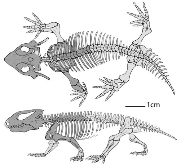 Figure 1. Kapes bentoni. Perserved parts are in gray.