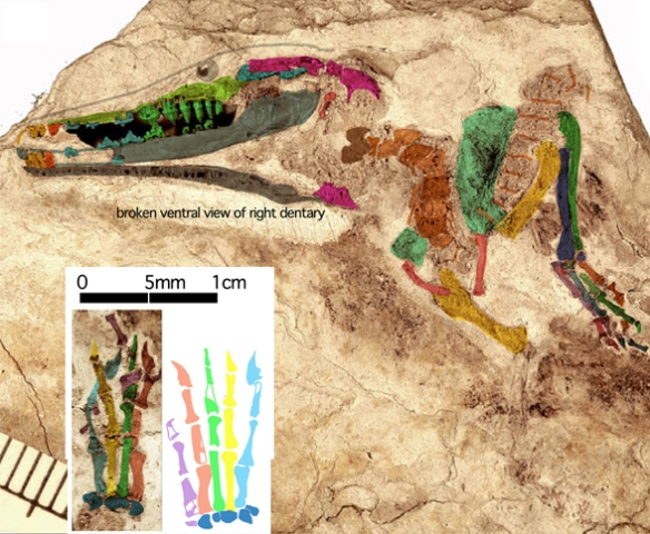 Figure 4. Lactodens in situ. This Early Cretaceous protothere has tooth-lined jaws. At 72 dpi this is about 3x larger than life size.