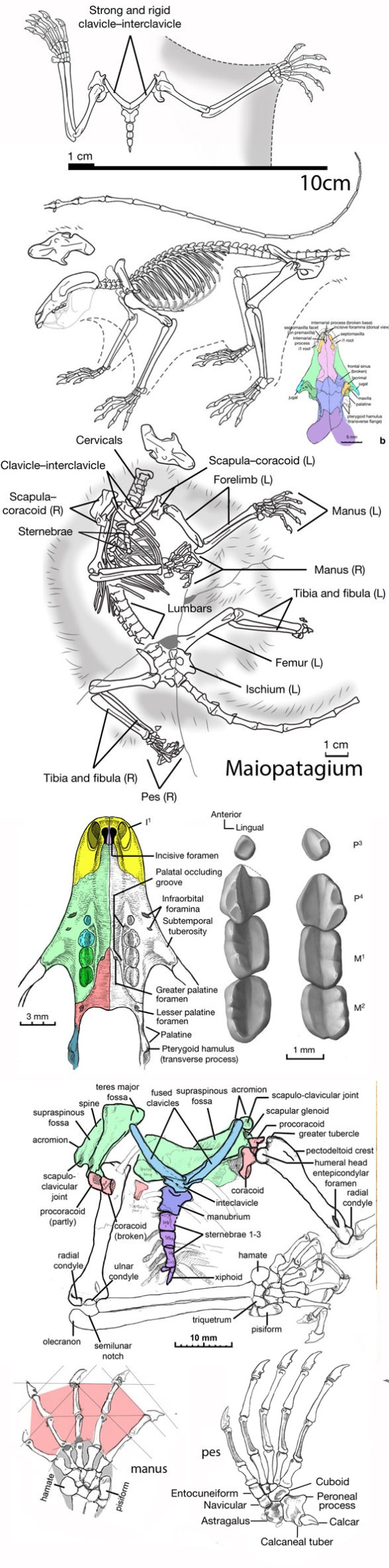 Figure 2. Maiopatagium images from Meng et al. with the addition of a braincase restored here.