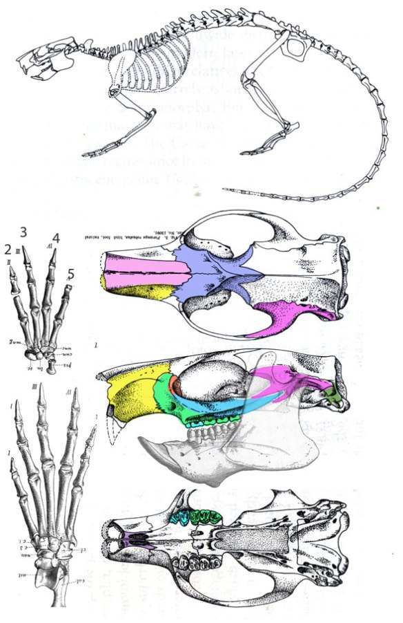 Figure 4. Paramys is an extinct rodent with a sliding jaw joint and flattened premolars and molars. Compare to Vilevolodon.