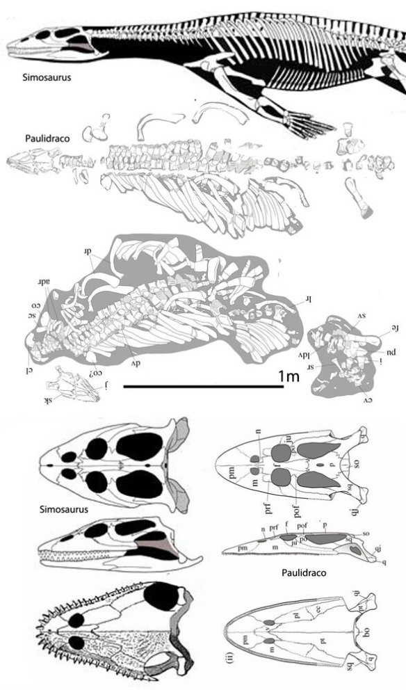 Figure 1. Simosaurus compared to Paludidraco.