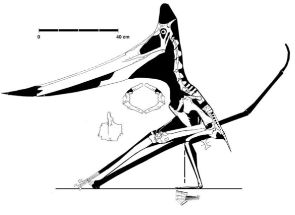 Figure 2. The UALVP 24238 specimen of Pteranodon is largely complete and here the tip of the rostrum is restored like that of a related specimen.
