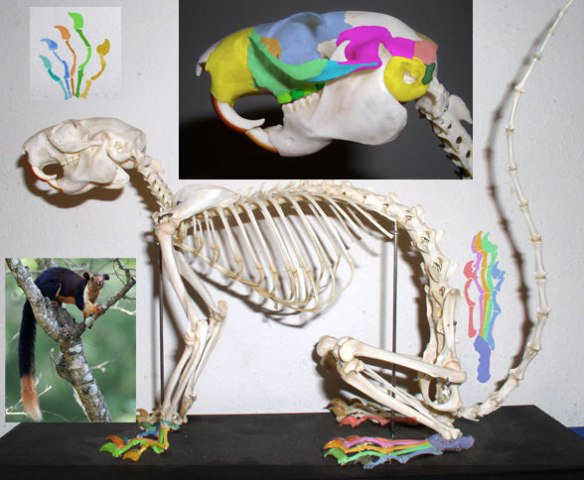 Figure 2. Ratufa, giant Indian squirrel skeleton and in vivo image. Note the large, cat-like claws and compare them to the smaller claws on all related taxa.