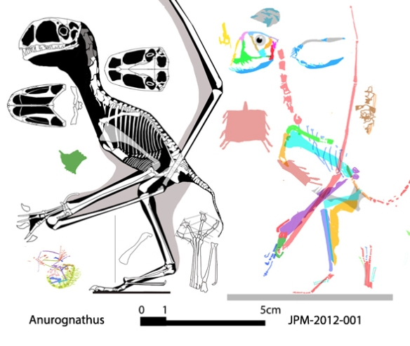 Figure 3. The holotype German Anurognathus to scale with the Chinese anurognathid JPM-2012-001, based on the naming policies of Rhamphorhynchus, Pteranodon and other pterosaurs, these two are congeneric.