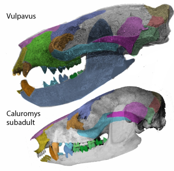 Figure 1. Vulpavus compared to Caluromys skulls in lateral view.