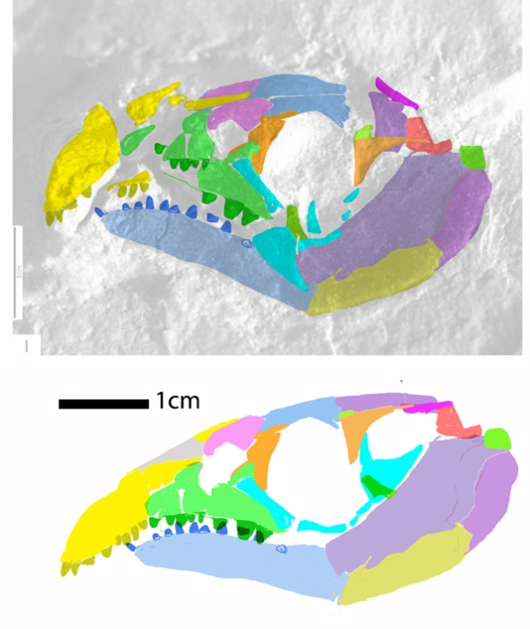 Figure 1. Wachtlerosaurus in situ and reconstructed in lateral view.