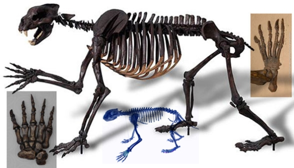 Figure 1. Arctodus (shor-faced bear) skeleton compared to the smaller Gulo (wolverine) skeleton. Both have similar proportions. Arctodus is larger than 3m, while Gulo is about 1m in length.