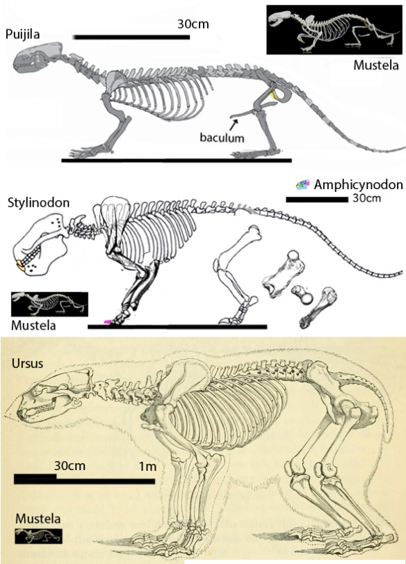 Figure 4. Ursus maritimus compared to ancestral and related taxa, Mustela, Puijila and Stylinodon. Seeing them together makes comparisons easier.