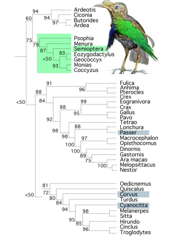 Figure 4. Semioptera, the bird-of-paradise, nests in the cuckoo clade between the lyrebird, Menura, and the roadrunner, Geococcyx.