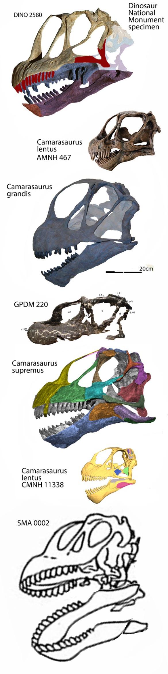 Figure 3. Several skulls attributed to Camarasaurus to scale. SMA 0002 is the short-limbed Cathetosaurus. Brachiosaurus appears to be a derived camarasaur.